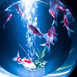 アートアクアリウム 2014 〜江戸・金魚の涼〜