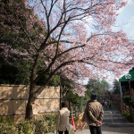 高遠小彼岸桜、満開