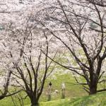 四谷の土手、桜が満開