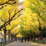 外苑のいちょう並木、紅葉がそろそろ見頃です